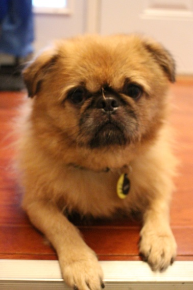 Murray, Brussels Griffon