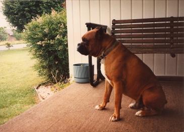 Bill, Boxer Bulldog