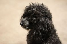 Tobey, Toy Poodle