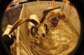 fourHorned_Goat_WP