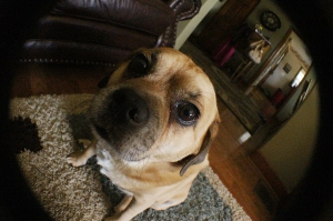 Chico, the Puggle