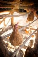 WP_ChickenHeadOn
